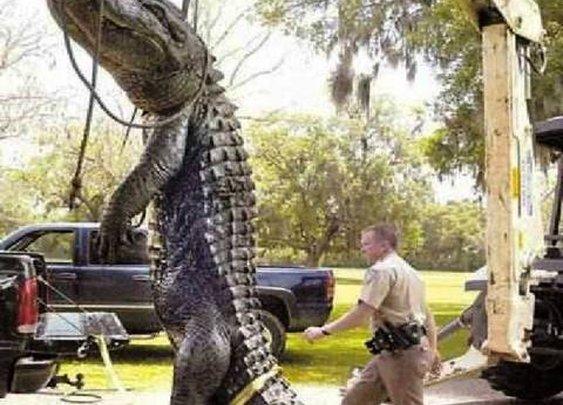 Huge 28' Alligator; Real or Fake? : 101 or Less
