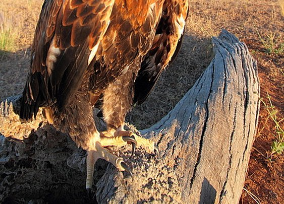 wedge tailed eagle australia | Flickr - Photo Sharing!