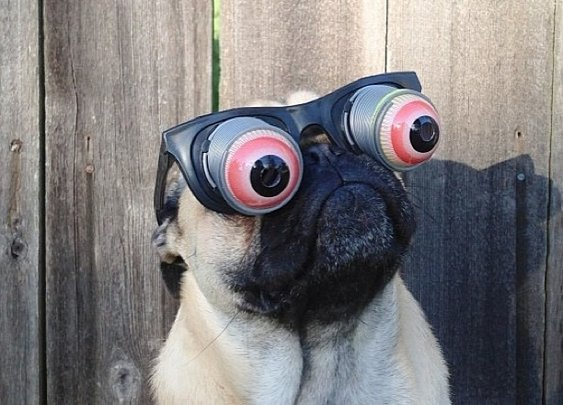 16 Reasons Why Pugs Are The MF Thugs