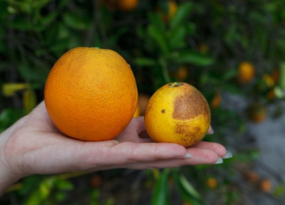 A Race to Save the Orange by Altering Its DNA