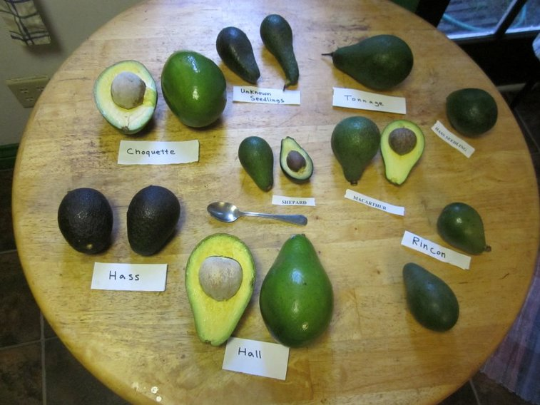 Avocado fans behold: Our guide to the 9 avocado varieties. Become an expert. Impress friends. | Food Republic