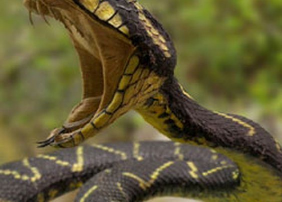 How to Survive a Snakebite : Discovery News