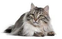 "Siberian Cats - the hypoallergenic, 15+lbs ""Man's cat"""