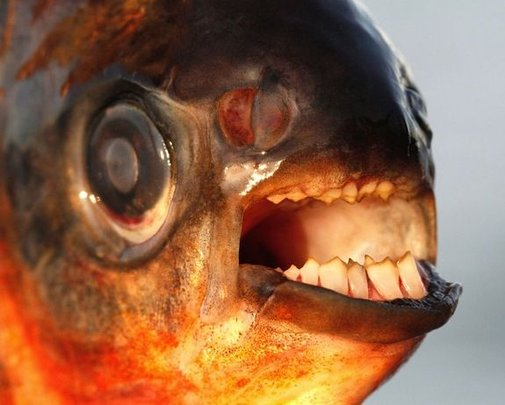 Testicle-biting fish invading Denmark, authorities warn   Fox News