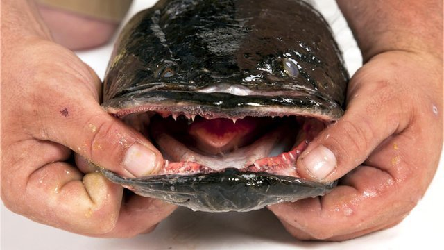 Snakehead fish: Can invasive species be eaten out of existence?
