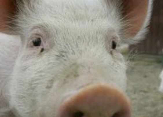 Pig drinks 18 beers, tries to fight cow before passing out | The Daily Caller