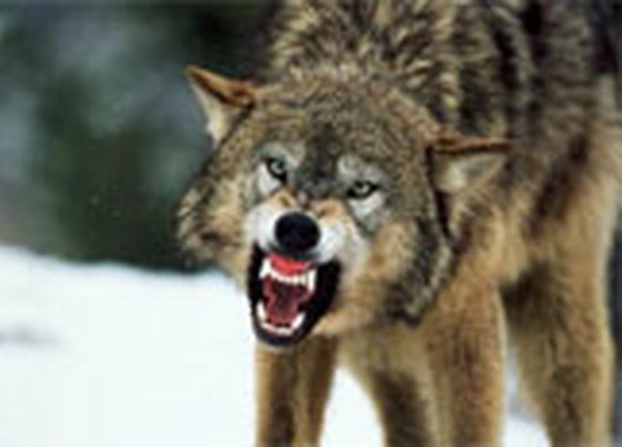 Getting Out Alive: Wolf Attack