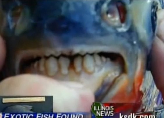 10-Inch Pacu, Testicle-Eating Fish, Caught In Passaic, New Jersey