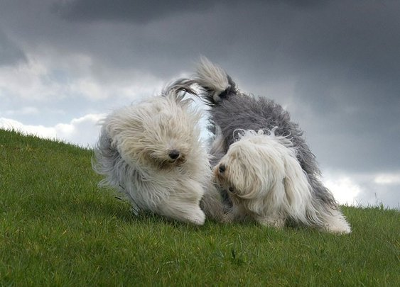 The everyday adventures of a couple of shaggy old English sheepdogs