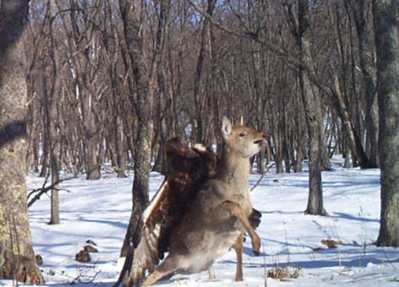 Cameras capture an eagle killing a deer in Russia