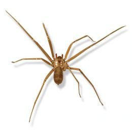 How to Identify Venomous House Spiders