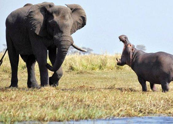 Hippo vs. elephant: Animal giants face off