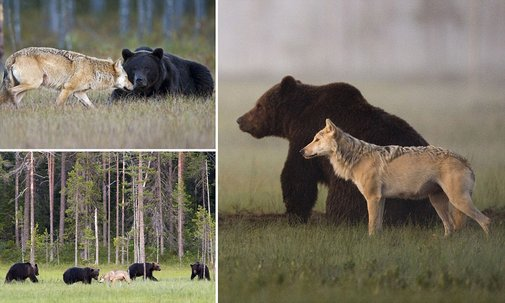 Bear and WOLF's unlikely friendship caught on camera by photographer  | Mail Online