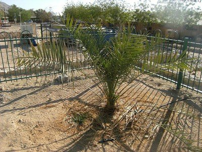 Extinct tree grows anew from ancient jar of seeds unearthed by archaeologists : TreeHugger