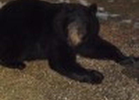 Bears in your yard