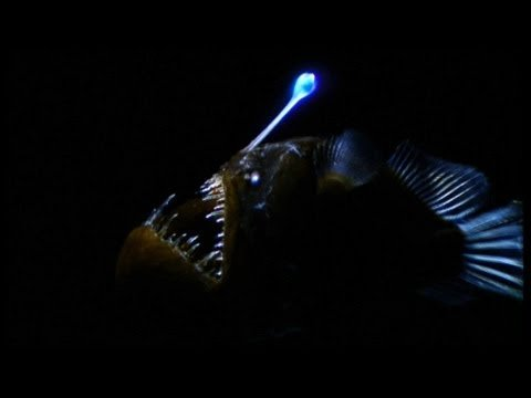 Weird Killer of the Deep: The Anglerfish (Video)