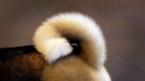 BBC News - Scientists decipher dog-tail wags
