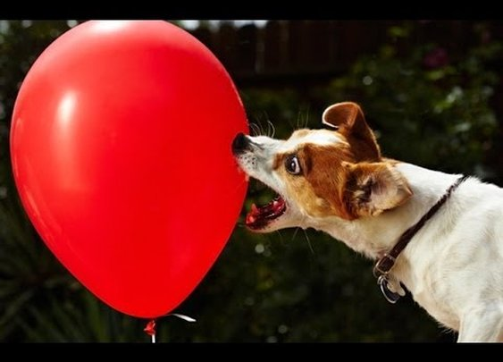 Dogs Popping Balloons Compilation