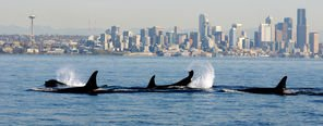 Orcas circle ferry transporting tribal artifacts to Bainbridge Island | Travel & Outdoors | The Seattle Times