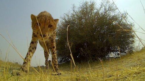 GoPro: Cheetah Licks My GoPro - YouTube