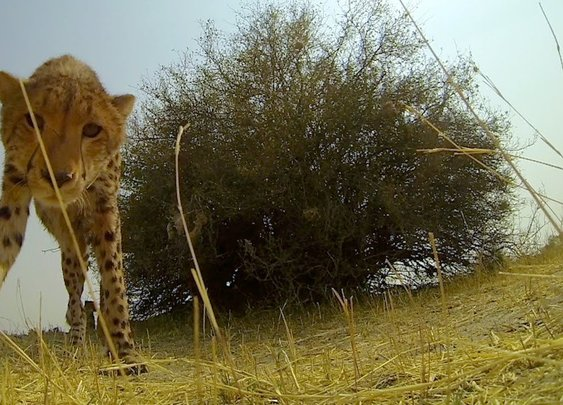 GoPro: Cheetah Licks My GoPro - YouTube
