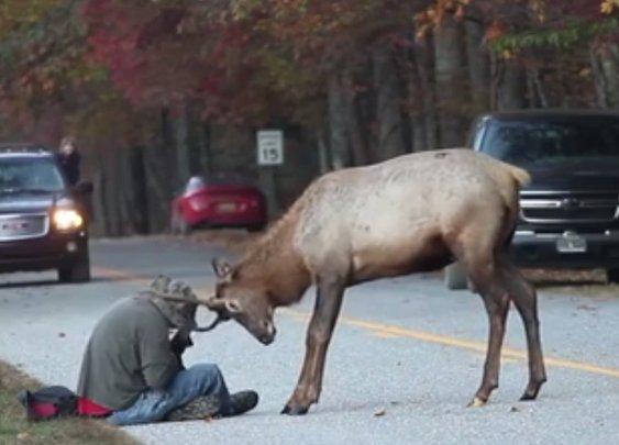 Elk vs. Photographer : 101 or Less