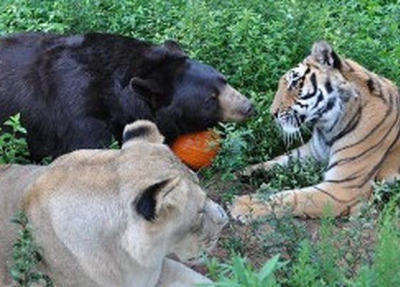 Lion, Tiger, and Bear - Best Friends For Life - Geek Magazine