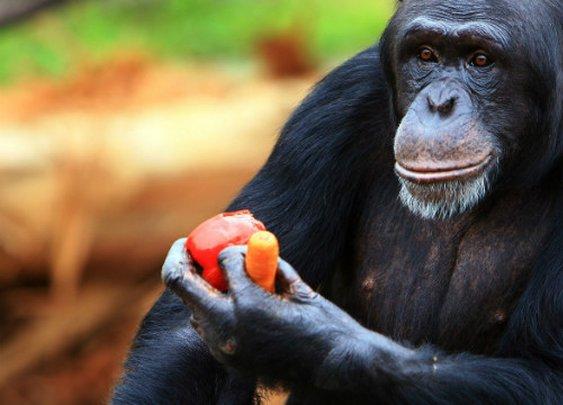 Chimps should be recognized as 'legal persons,' lawsuits claim - CNN.com