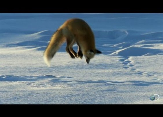 A Red Fox Dives Headfirst into Snow in Search of Food