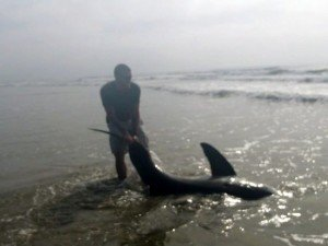 Great white shark caught from beach by U.S. Marine