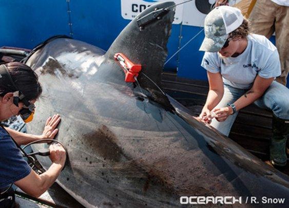 Tracking the Secret Lives of Great White Sharks