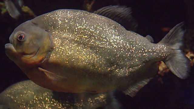 70 Injured in Christmas Piranha Attack   News from the Field   OutsideOnline.com
