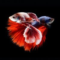 Siamese Fighting Fish Show Off Their Fiercest Looks