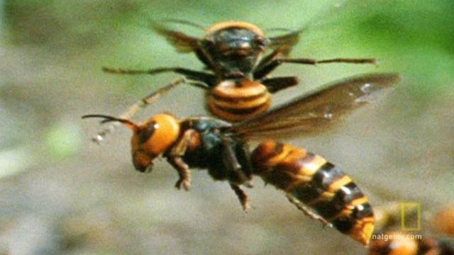 Attack of the GIANT Hornet (that can spray venom)