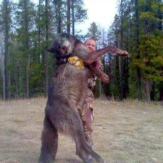 Giant Idaho Wolves