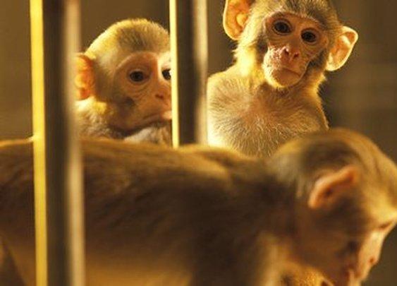 BBC - Master monkey's brain controls sedated 'avatar'
