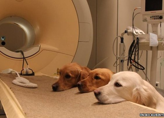 BBC News - Dogs' brain scans reveal vocal responses