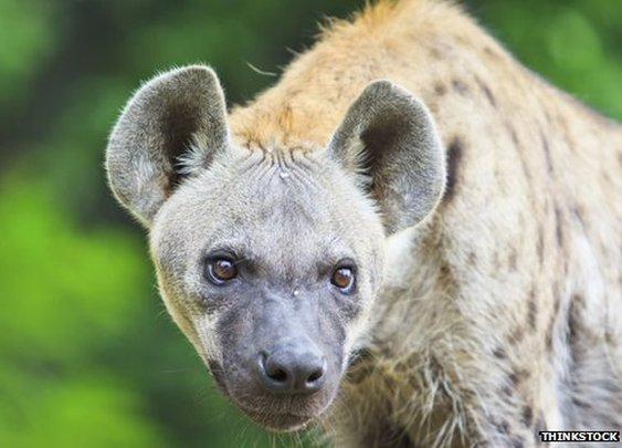 BBC News - The urban hyenas that attack rough sleepers