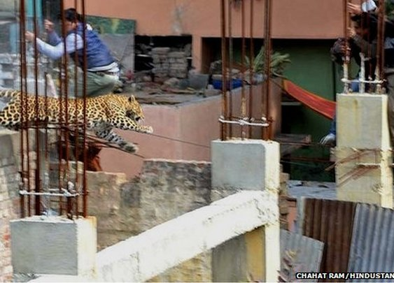 India leopard on loose causes panic in Meerut town