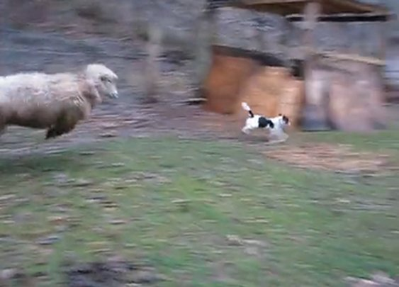 WATCH: Bouncy Sheep Plays Hide-n-Seek With Happy Dog