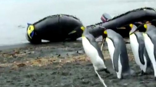 Seeing penguins get confused and trip over a rope is hilariously cute