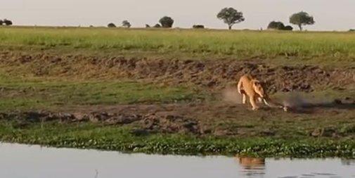 Lioness Attacks Crocodile