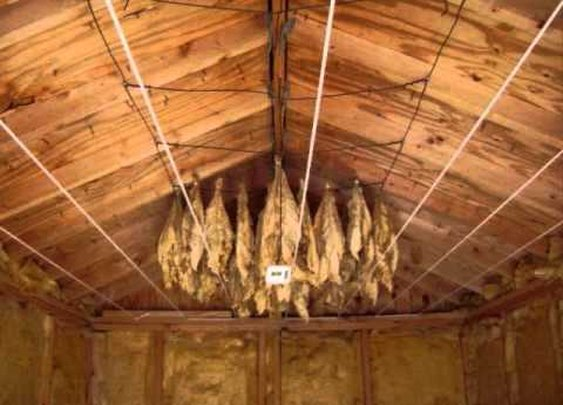 Harvesting, Hanging, and Curing you own Organic Tobacco! - YouTube
