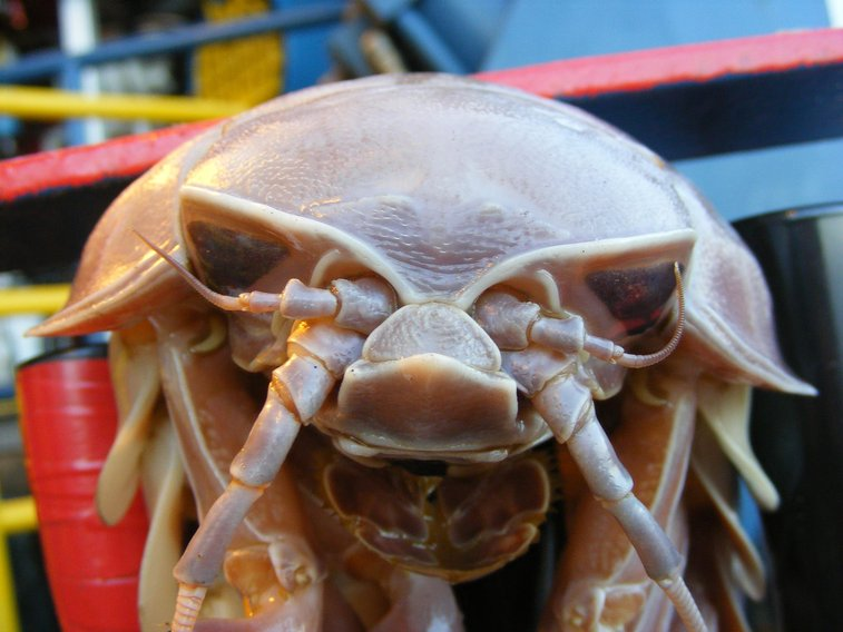 18 Awesome Facts About Giant Isopods
