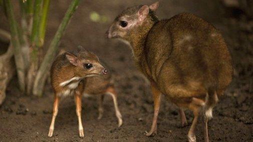 Spain: Endangered hamster-sized deer born in zoo