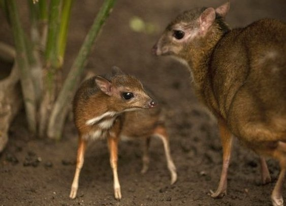 Spain: Endangered hamster-sized deer born in zoo