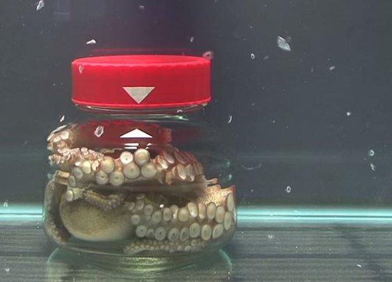 Meet The Octopus That's Also An Escape Artist |