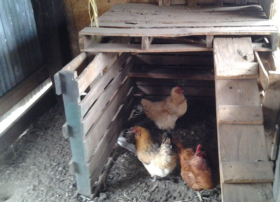 Why Not Chickens? Beginners Guide for Preppers | Beat The End Survival Blog