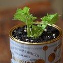 Growing Celery Indoors: Never Buy Celery Again | 17 Apart: Growing Celery Indoors: Never Buy Celery Again