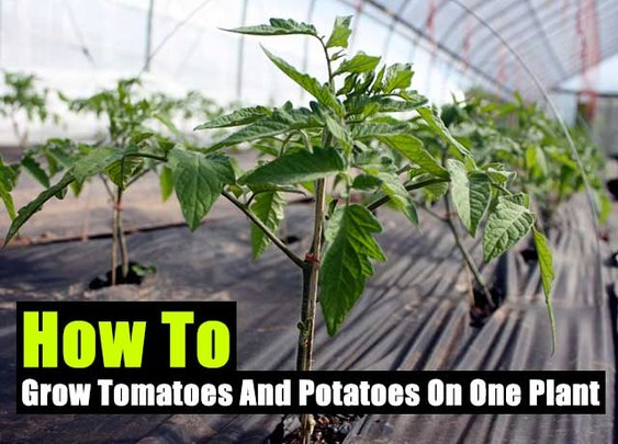How To Grow Tomatoes And Potatoes On One Plant - SHTF Preparedness